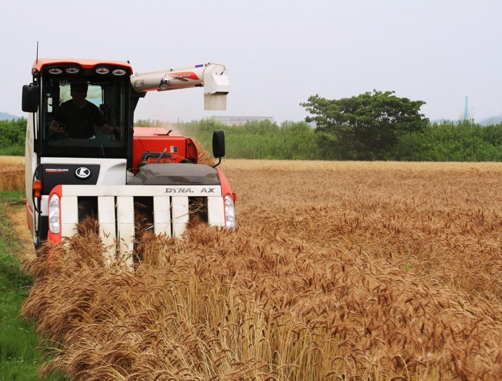 ちくしW2号(ラー麦)収穫風景